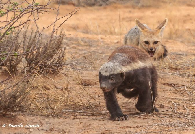 Cape fox and honey badger