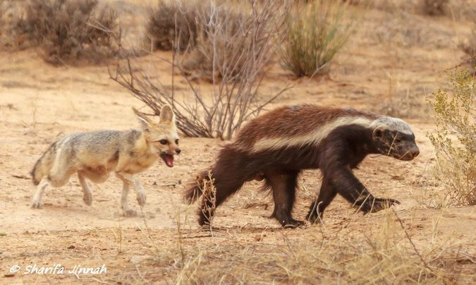 Cape fox with honey badger