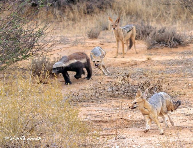 Cape foxes, honey badger and black-backed jackal