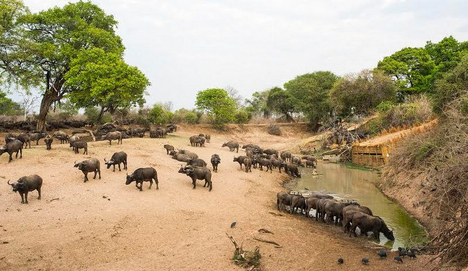 Buffaloes drinking at a waterhole with hide in the background in South Luangwa in Zambia