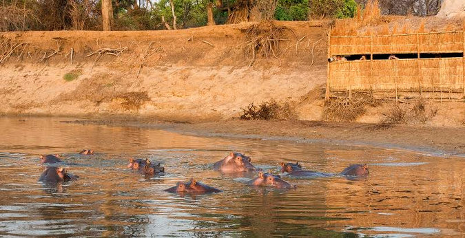 Hippos in the water with a hide in the background in South Luangwa in Zambia