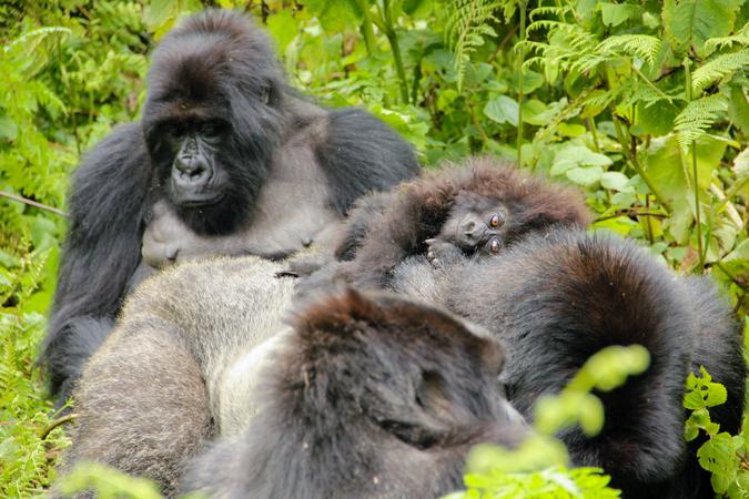 Silverback Isabukuru with infant