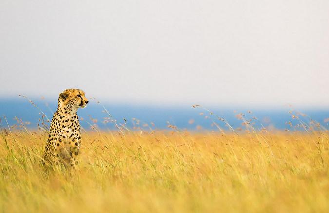 A cheetah in tall grass in the Maasai Mara