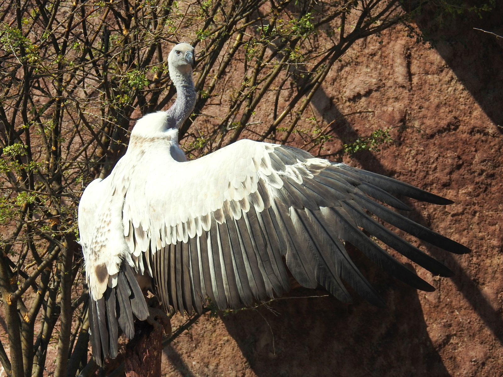 Cape vulture sunning itself