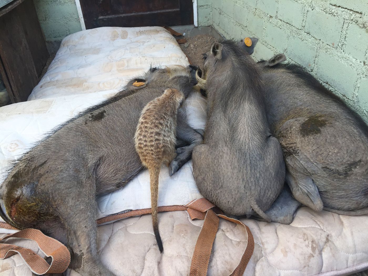 Three warthogs and a meerkat