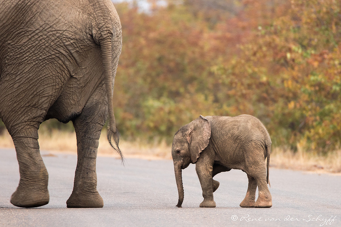 Small elephant calf crossing the road in Kruger with its mother