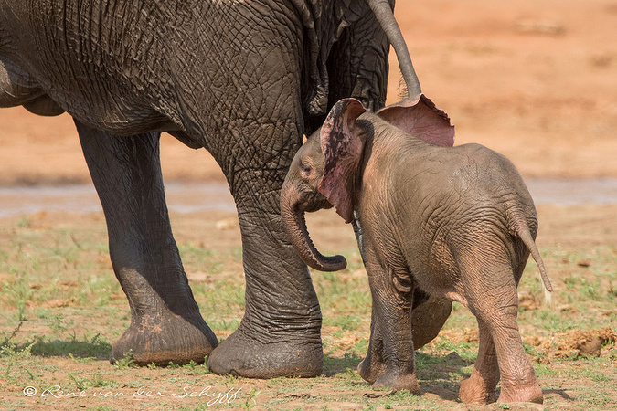 Elephant calf with pink and grey ears in Kruger
