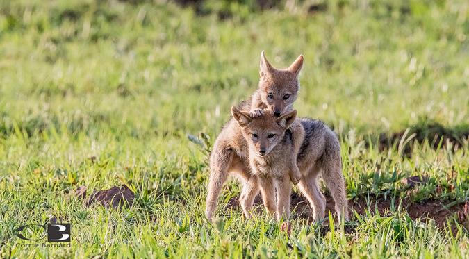 Black-backed jackal pups playing