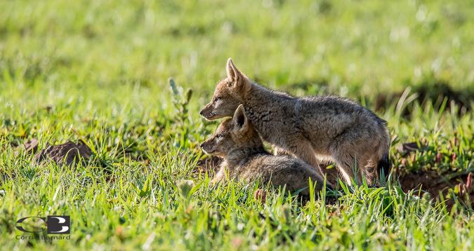 Black-backed jackal pups