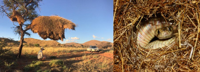 Researcher inspecting sociable weaver nest and a Cape cobra
