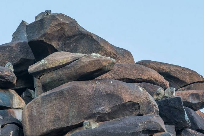 Rock hyraxes, or dassies, sunning themselves on a rocky outcrop in the Karoo