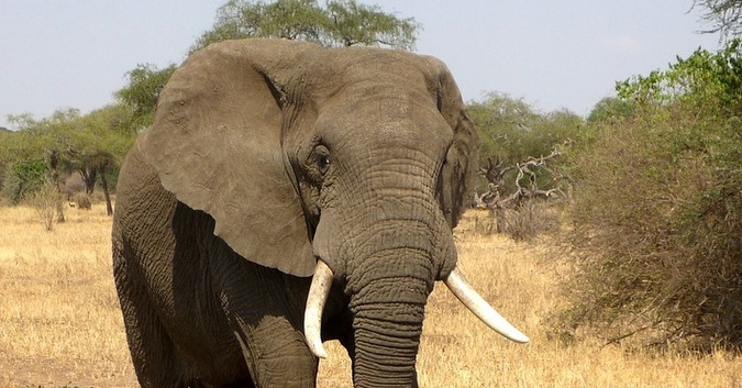 Stock photo of an African elephant