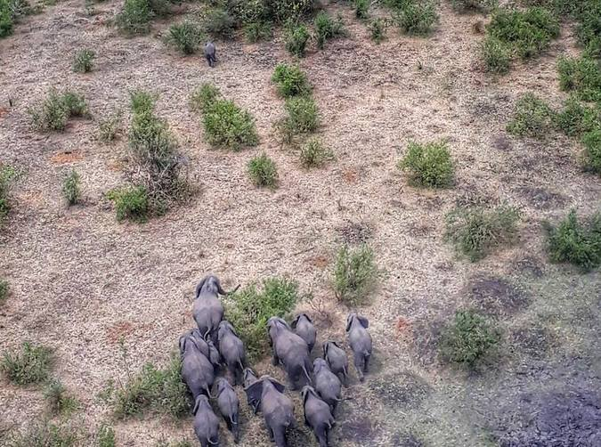 Aerial photo of elephant herd being reunited with baby elephant