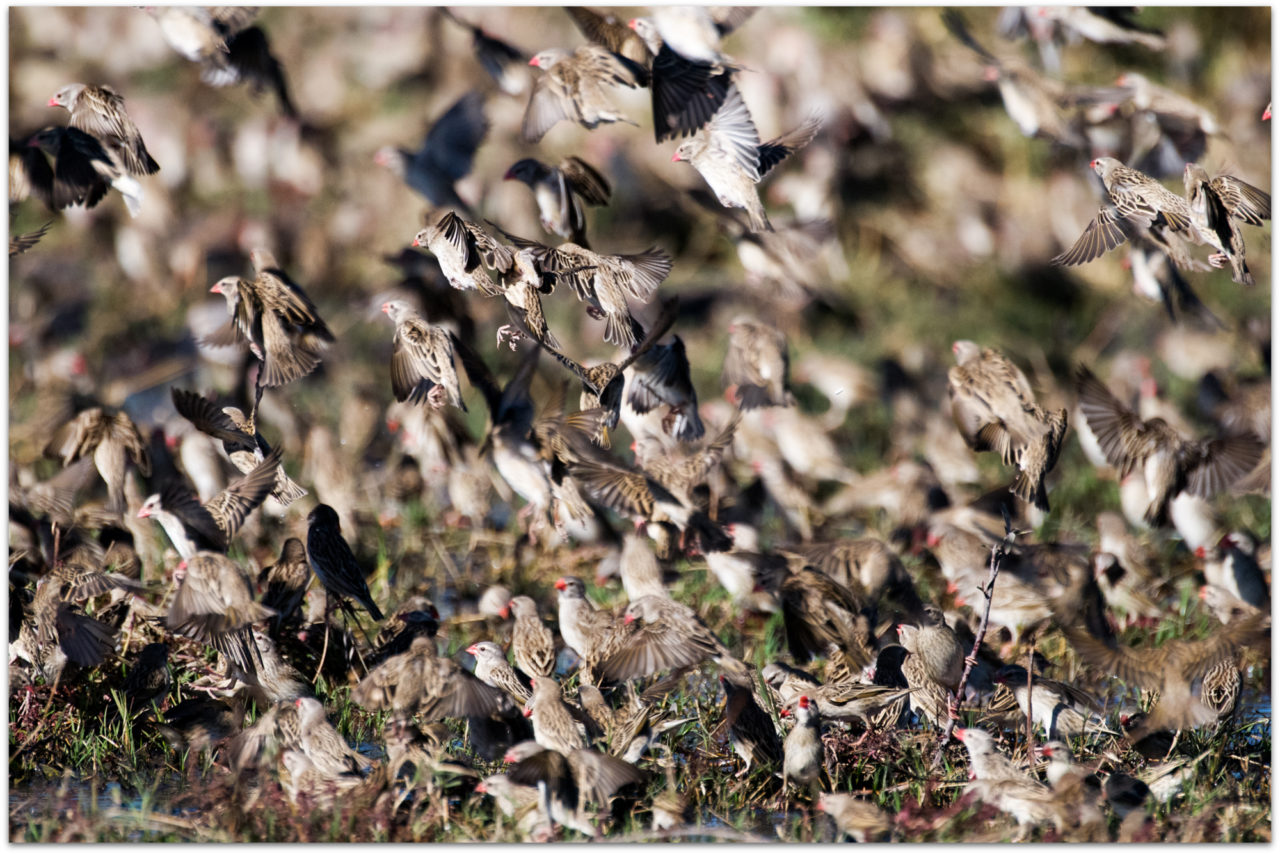 Red-billed quelea flock