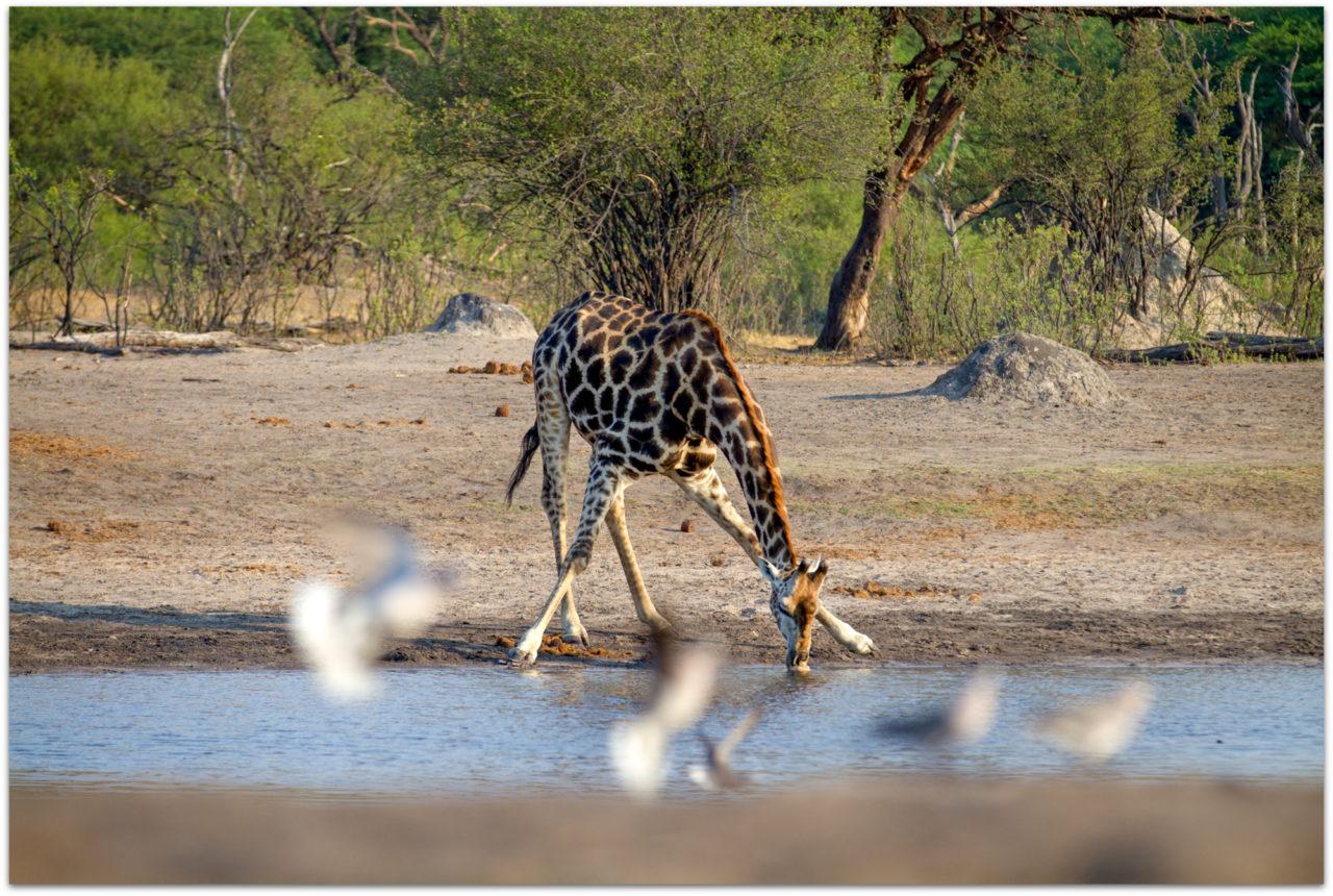 A giraffe takes a drink at a waterhole