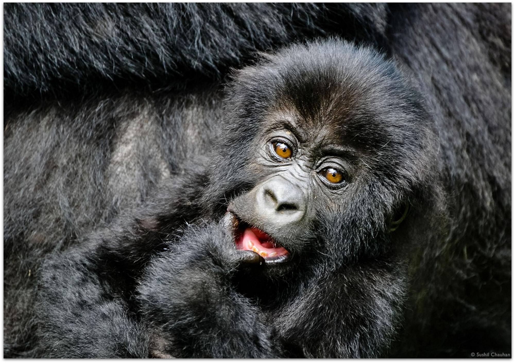 Lowland gorilla in Kahuzi-Biéga National Park © Sushil Chauhan