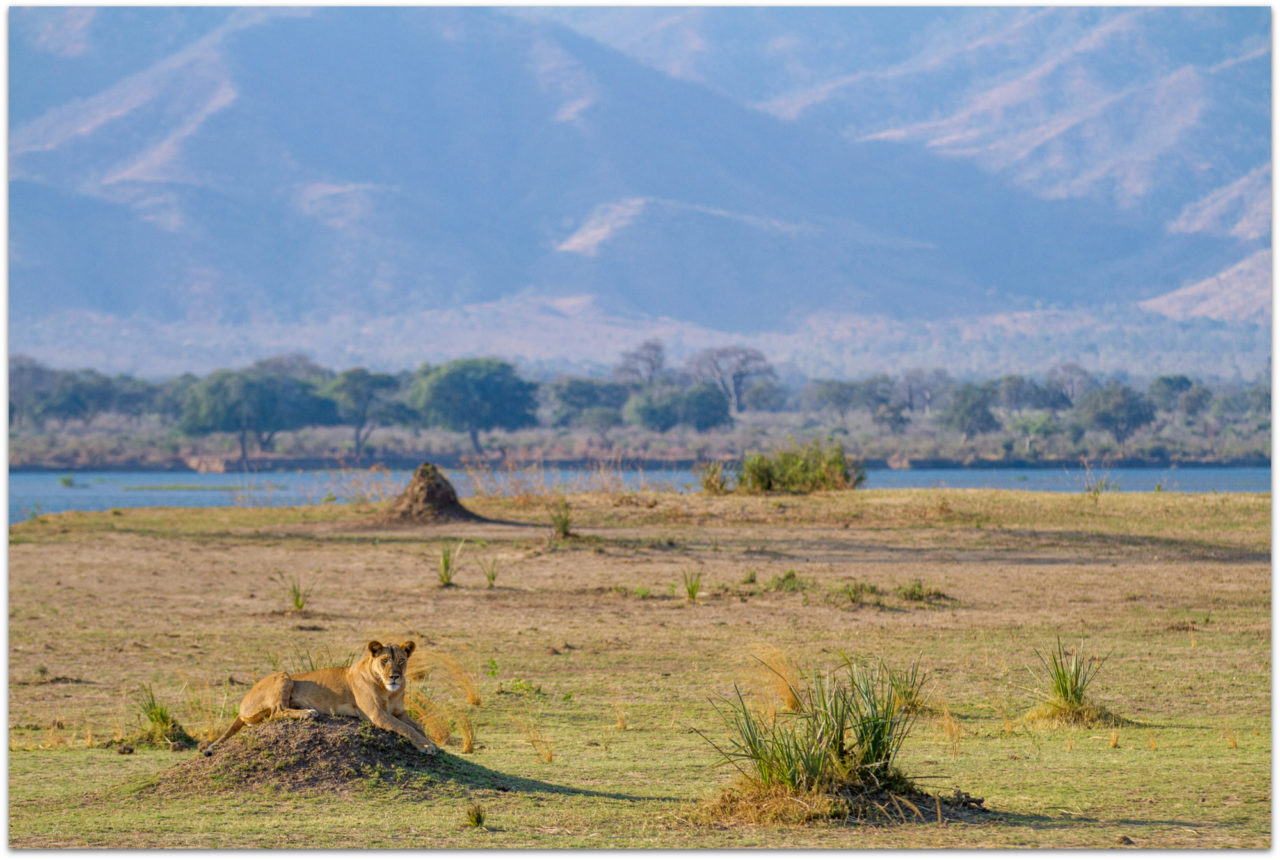 A lioness rests on a mound in Mana Pools National Parkin Zimbabwe