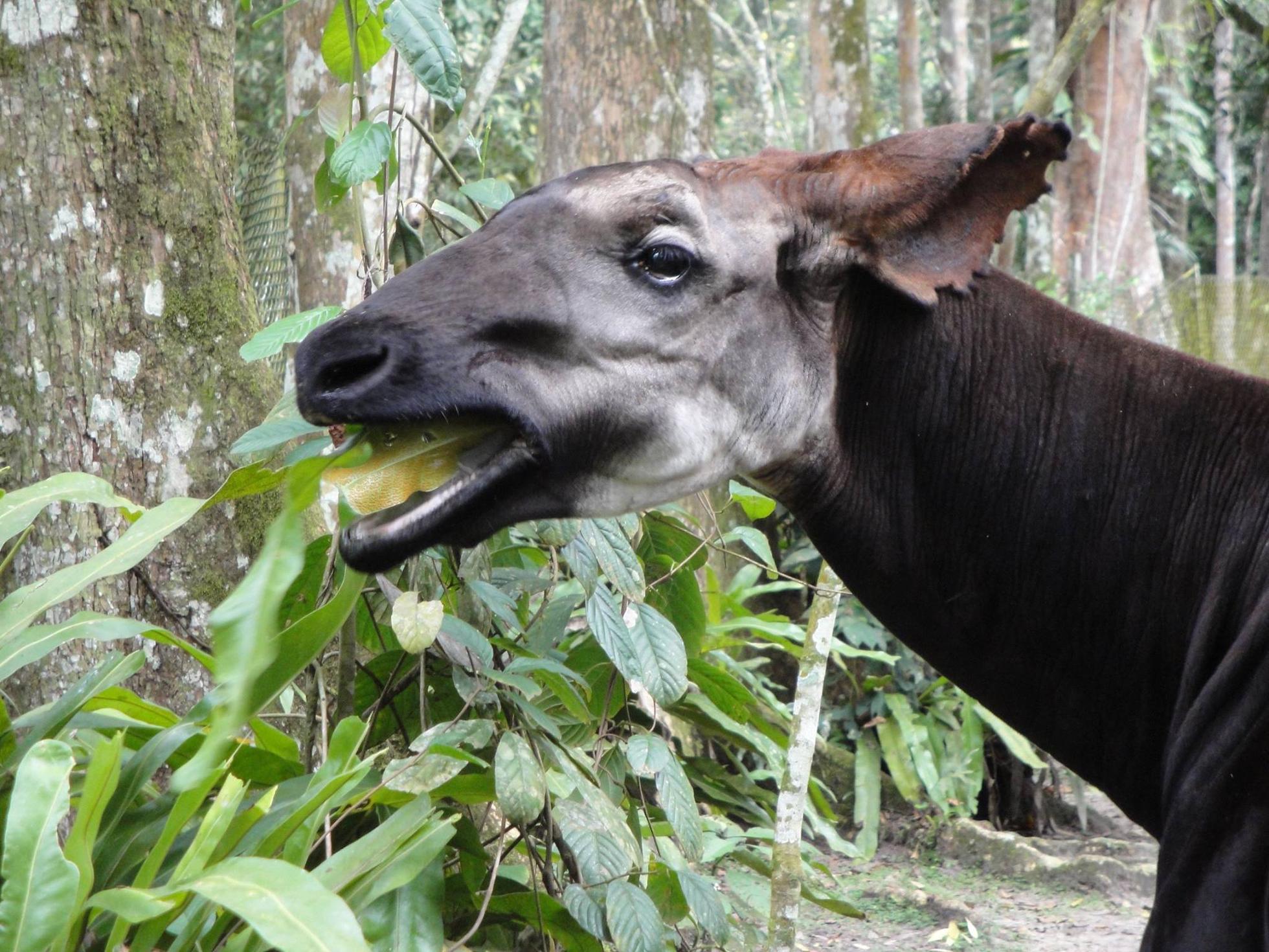 Okapi eating leaves in rainforest of DR Congo