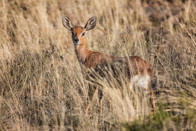 Steenbok in the Karoo in South Africa