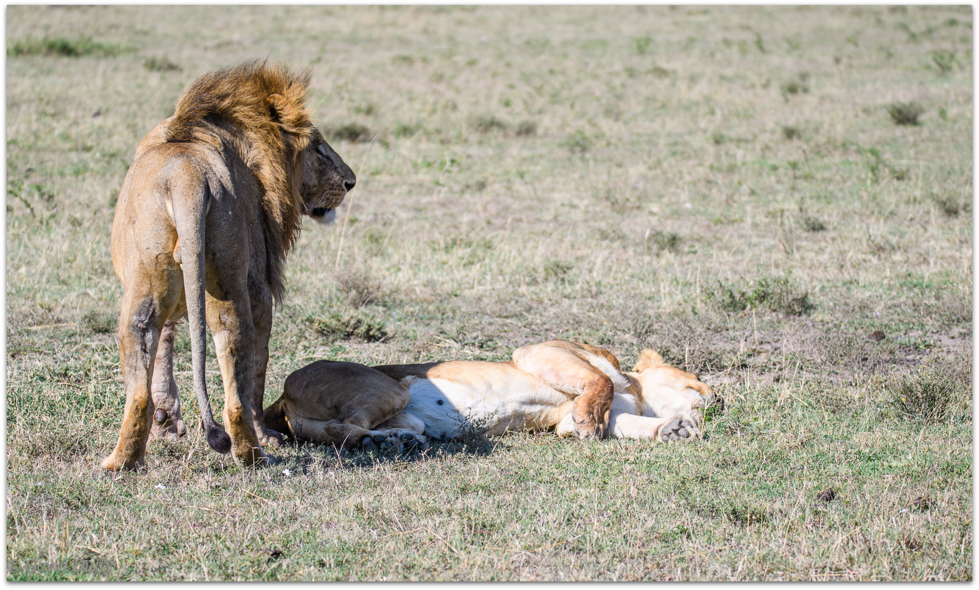 Courting pair of lions © Gavin Duffy