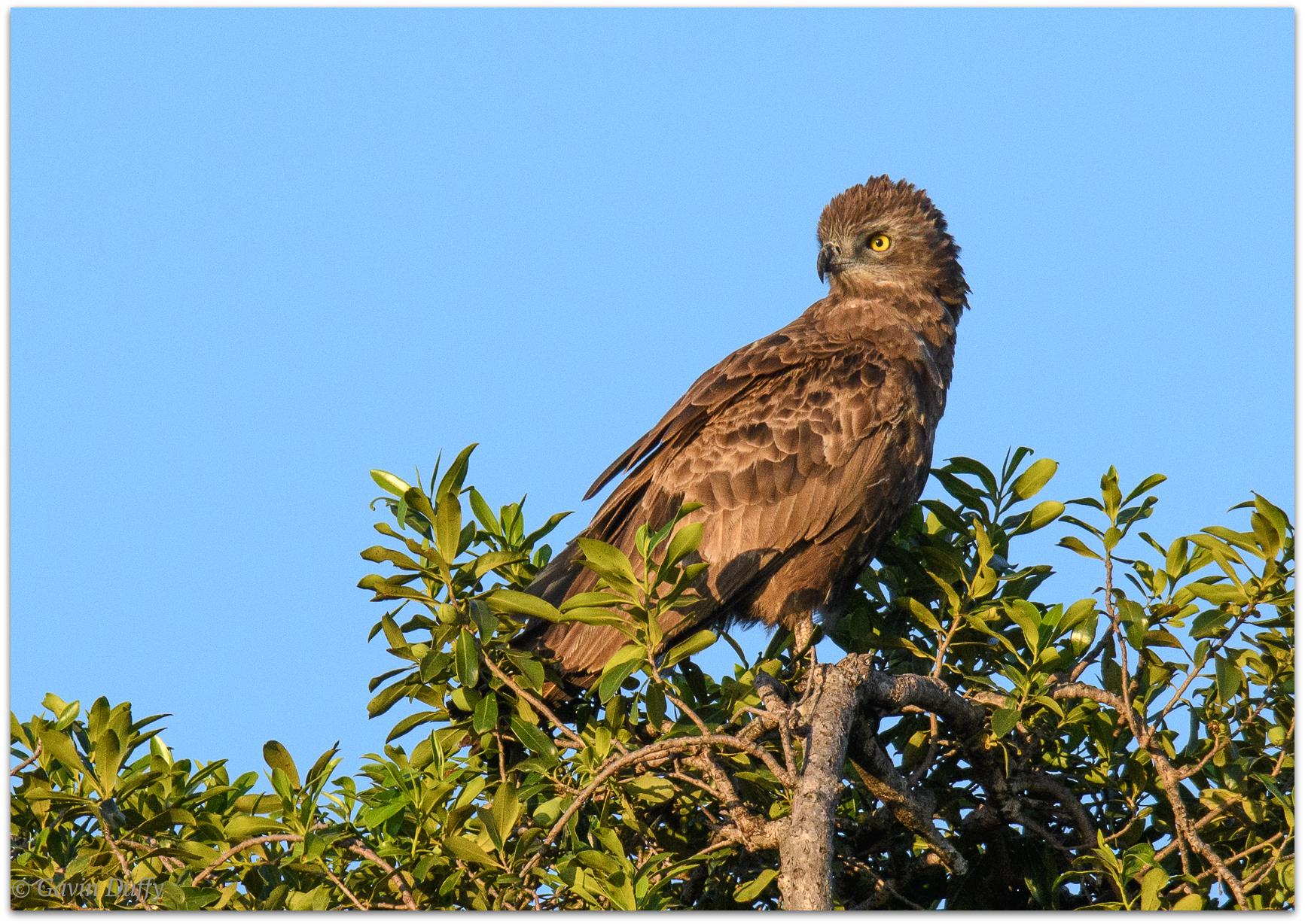 Brown snake eagle © Gavin Duffy