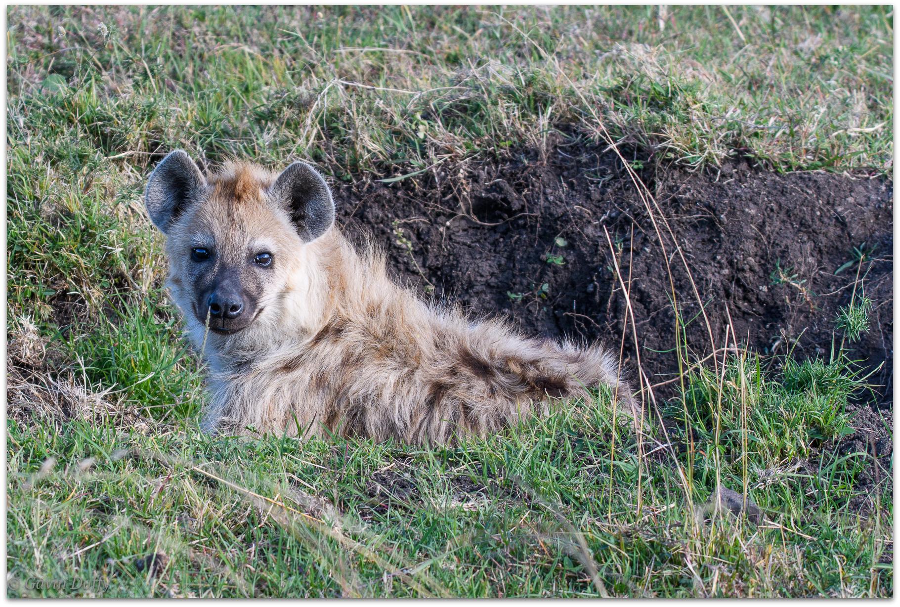 Hyena pup outside den © Gavin Duffy
