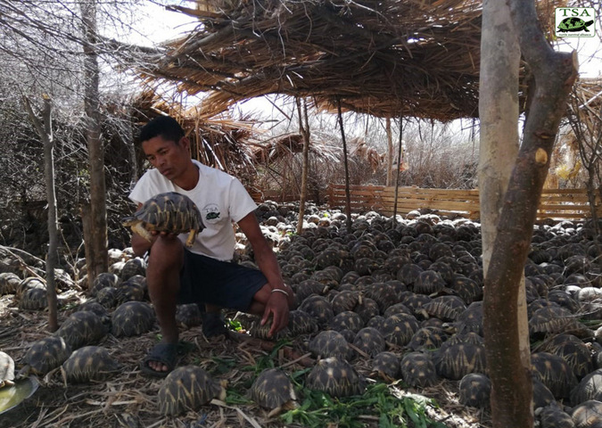 A keeper inspects one of the confiscated tortoises