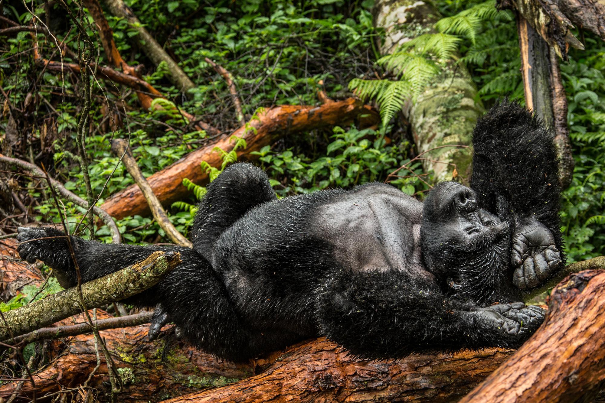 Dominant silverback resting in Mgahinga Gorilla National Park in Uganda