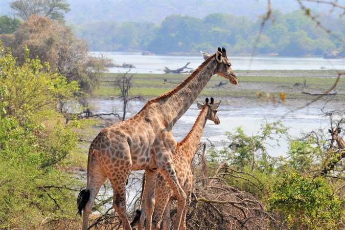 Giraffe at the Shire River in Majete Wildlife Reserve