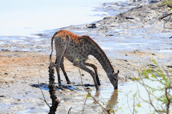 Giraffe drinking from Shire River in Majete Wildlife Reserve