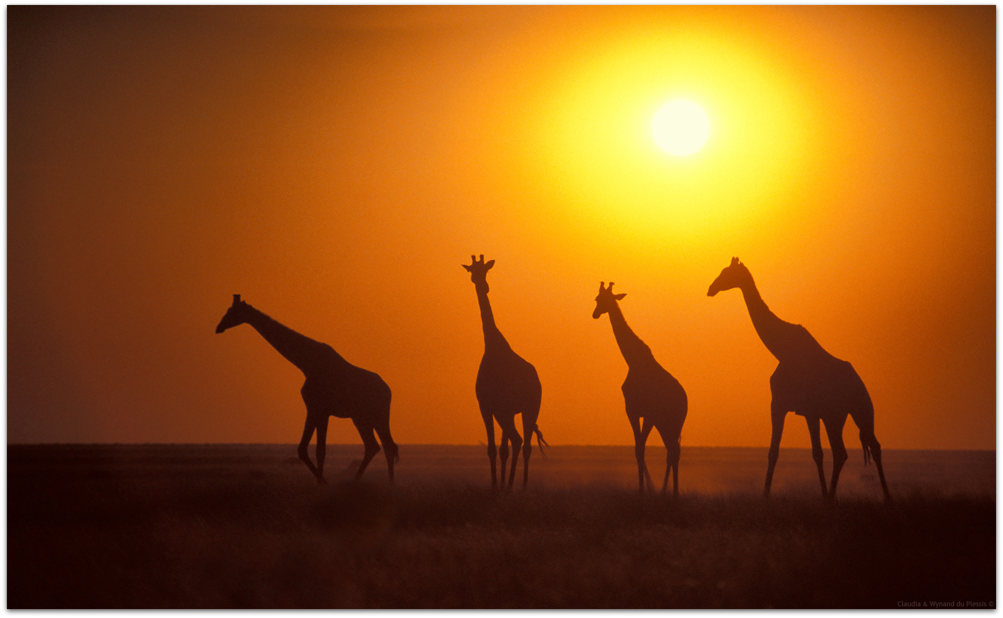Giraffes in Okaukuejo in the Etosha National Park