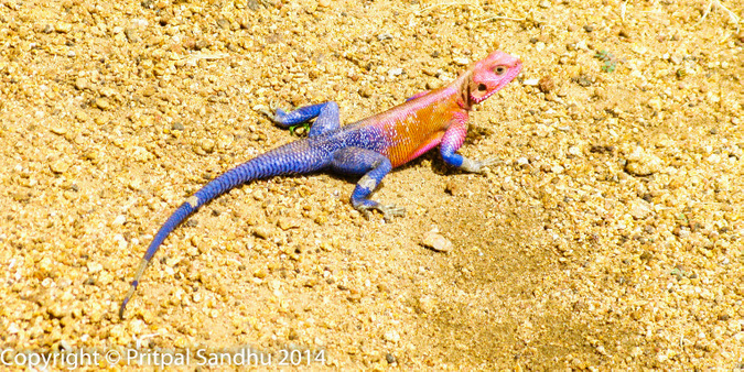 A red-headed agama
