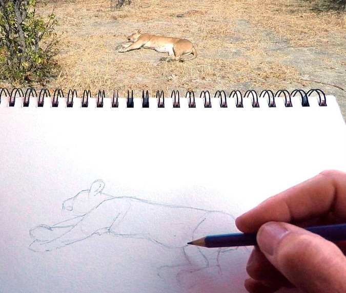Alison Nicholls sketching a sleeping lion