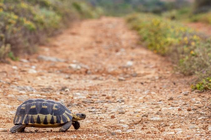 Angulate tortoise crossing a dirt road