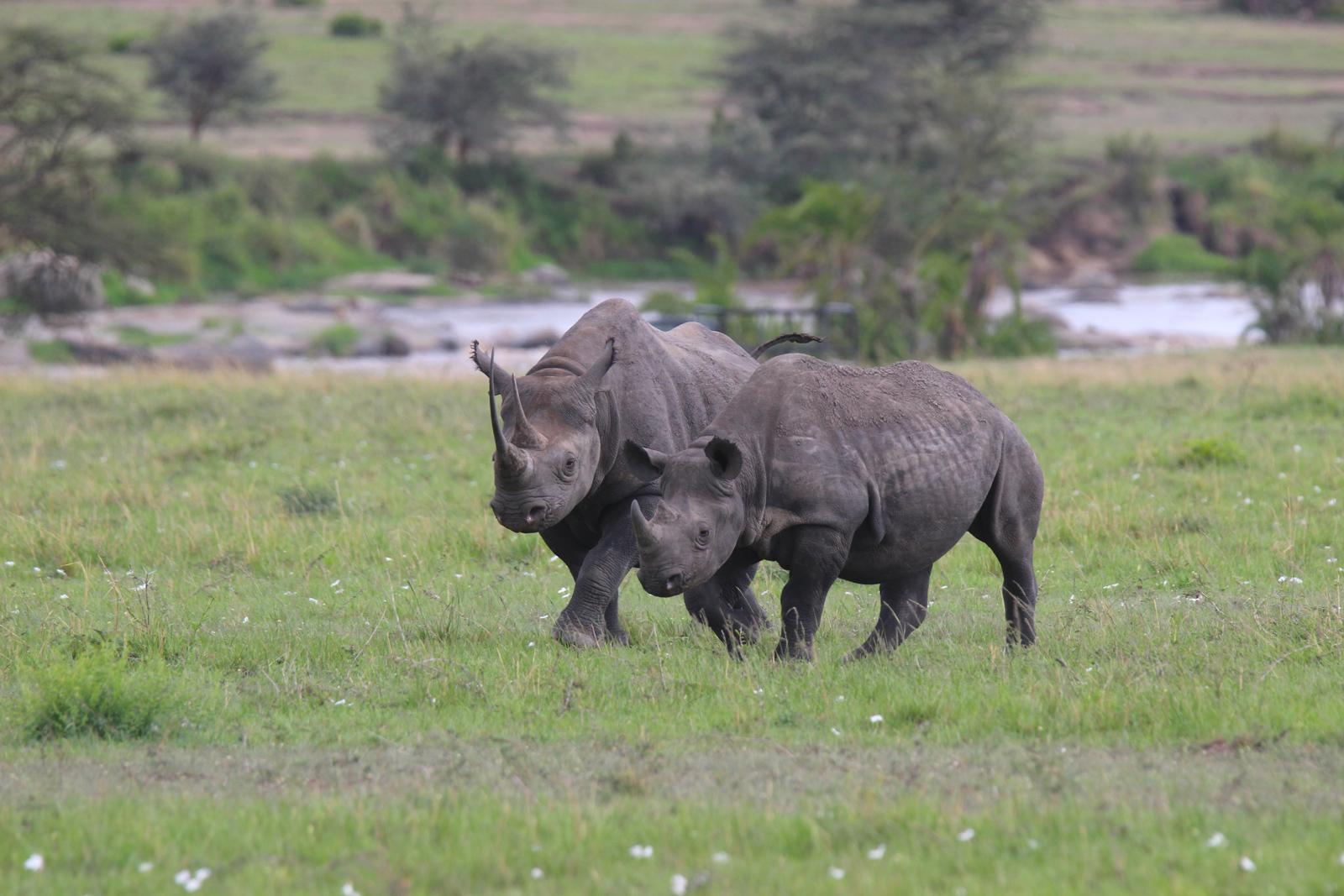 Black rhino mother and calf in the Serengeti