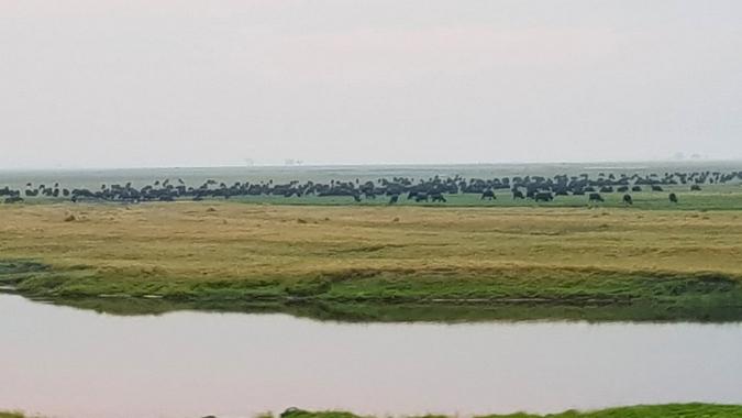 Large buffalo herd grazing