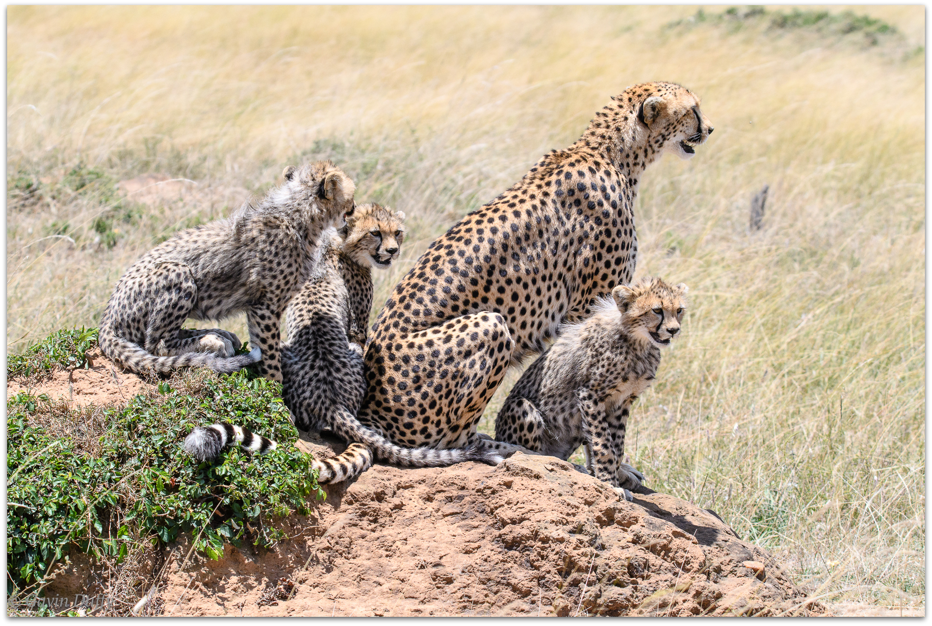 Cheetah mother and cubs on a termite hill looking for potential prey © Gavin Duffy