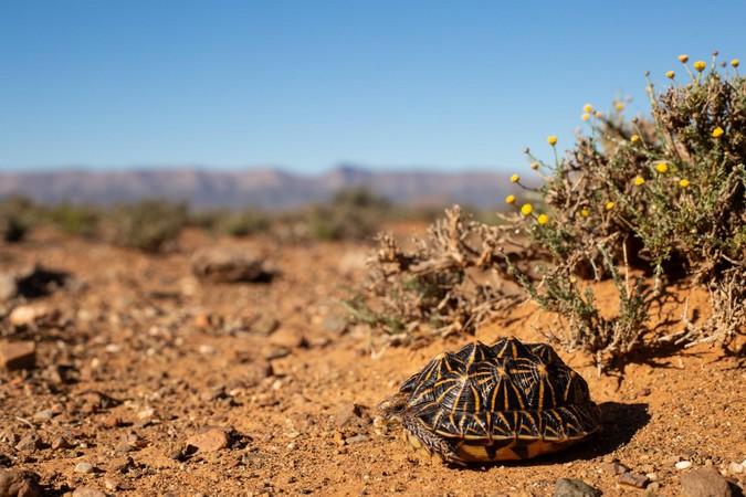 Common tent tortoise in the wild