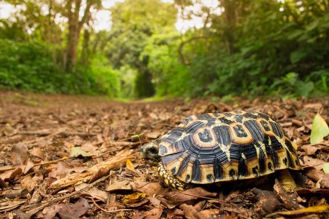 Hinge-back tortoise in the wild