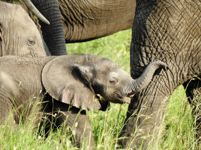 Elephant calf amongst the herd