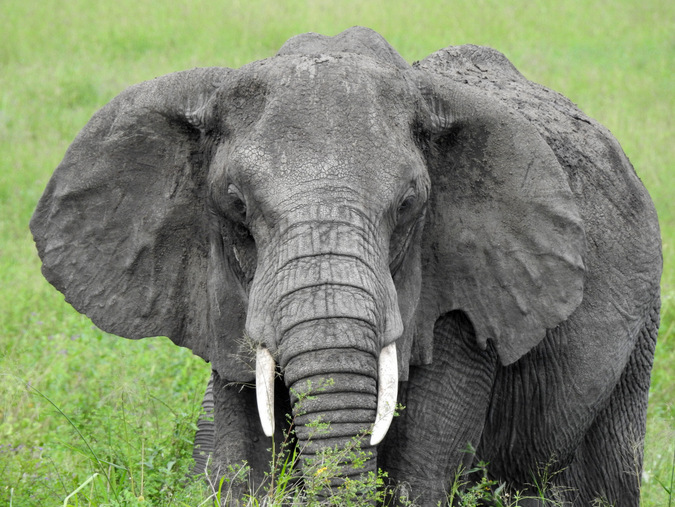 Portrait of an elephant in the Maasai Mara
