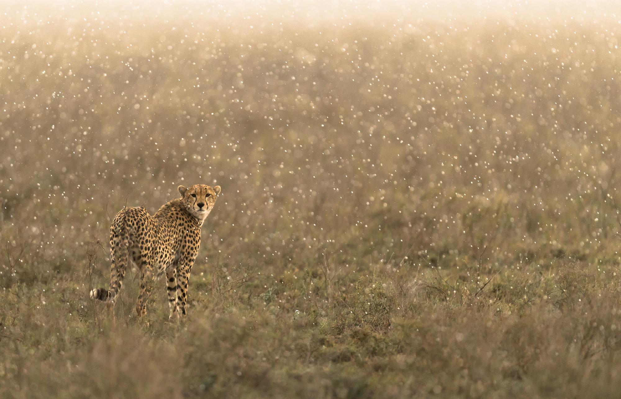 Cheetah in the rain © George Turner