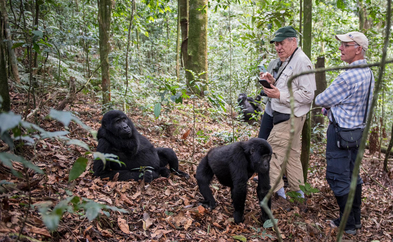 Three people standing with mountain gorillas in Bwindi in Uganda