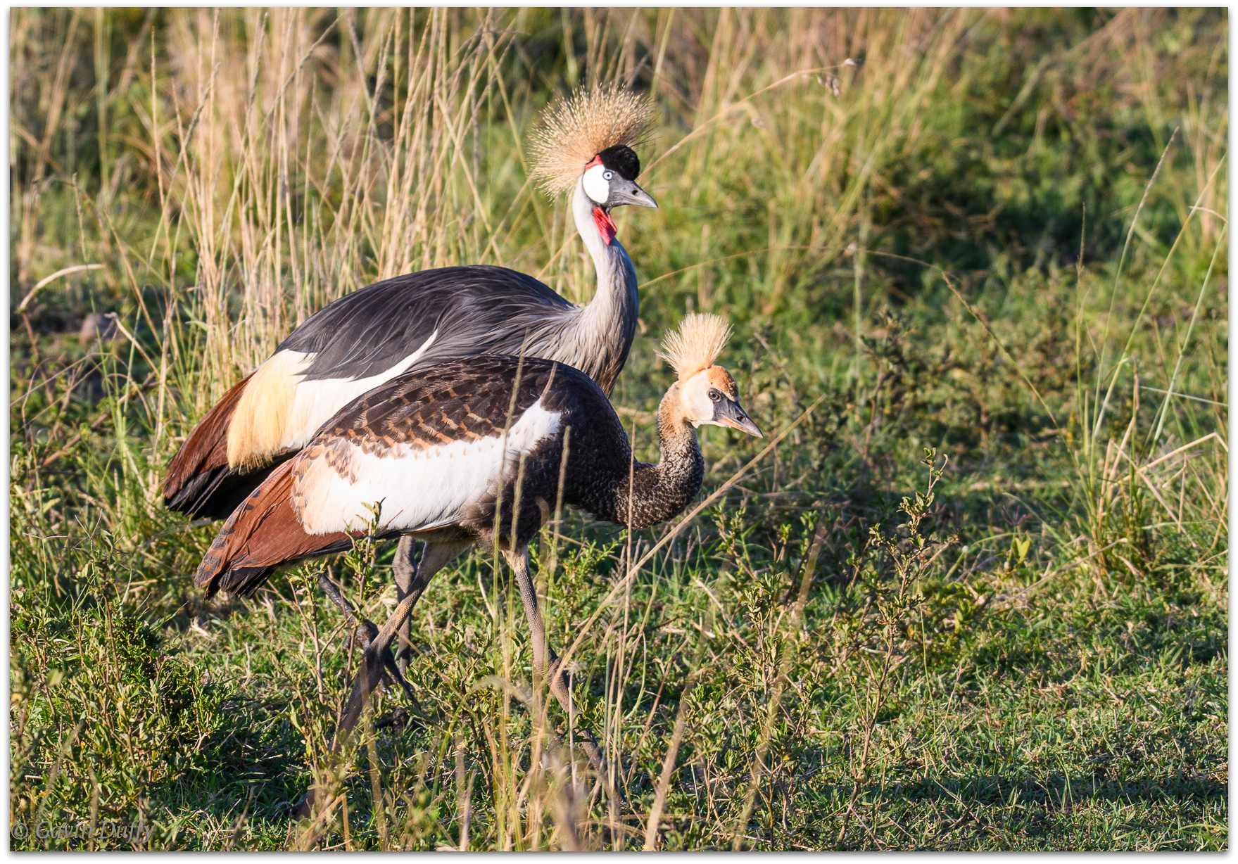 Grey crowned crane pair © Gavin Duffy