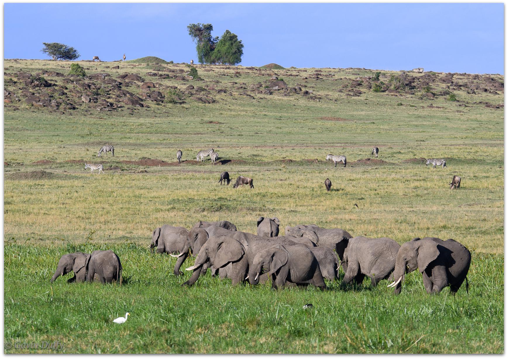 Herd of elephants © Gavin Duffy
