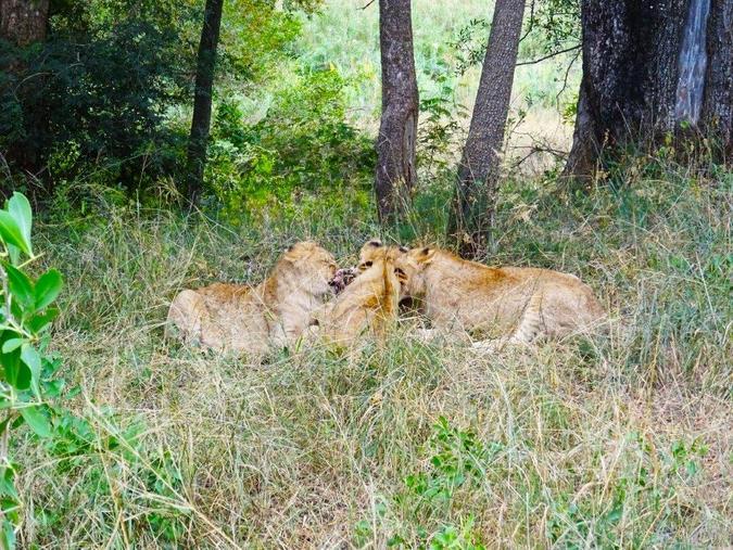 lioness and cubs eating nyala carcass