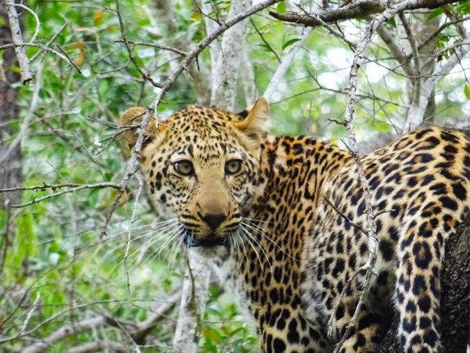 dejected-looking leopard in a tree