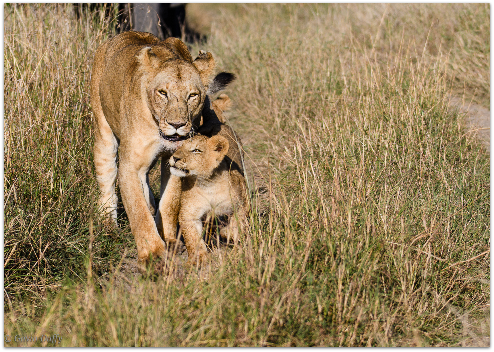 Lioness and cub reunited © Gavin Duffy