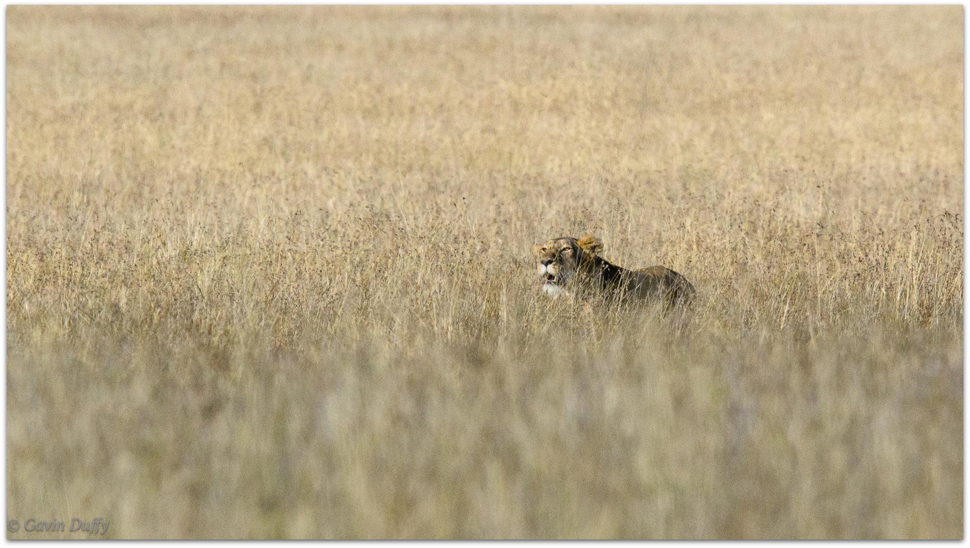 Lioness stalking prey © Gavin Duffy