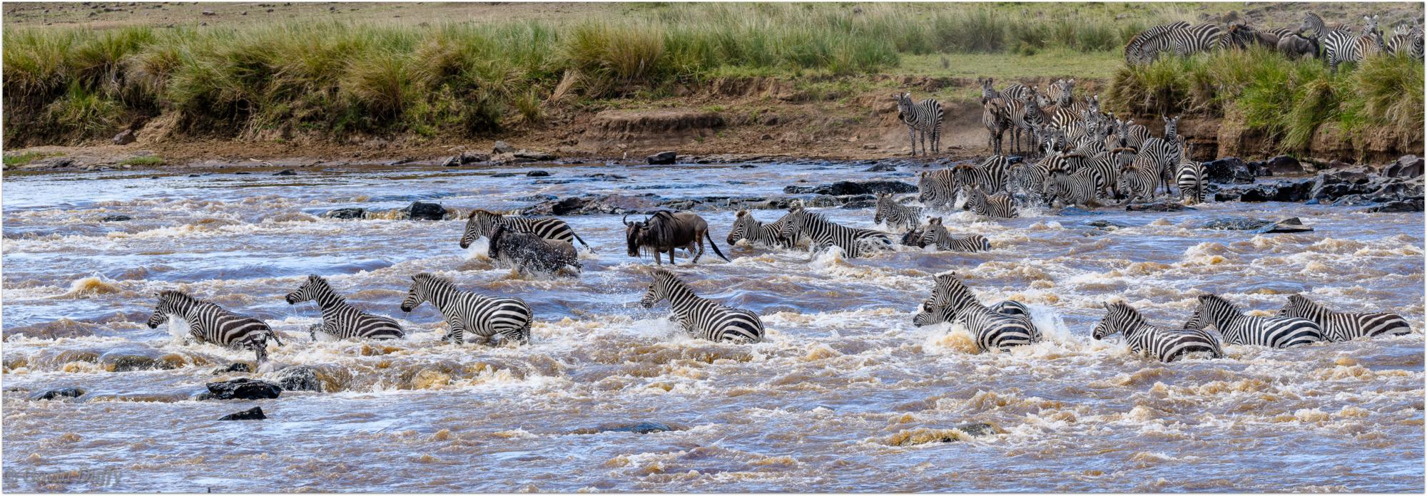 Zebra and wildebeest cross the Mara River © Gavin Duffy